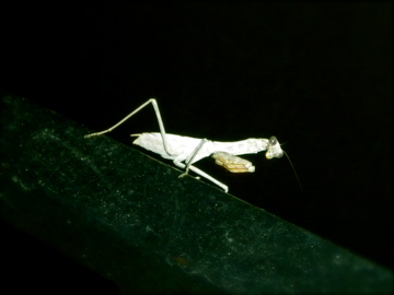 Prayingmantis 2